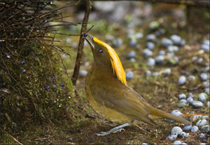 Golden Fronted Bowerbird